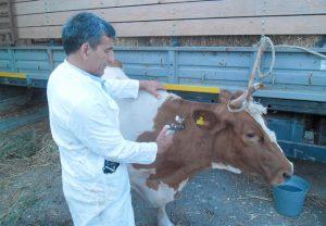 Симптомы нодулярного дерматита у животного