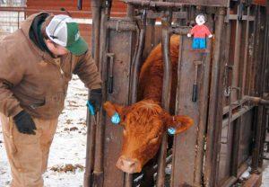 Дерматит у коров опасен ли для человека thumbnail